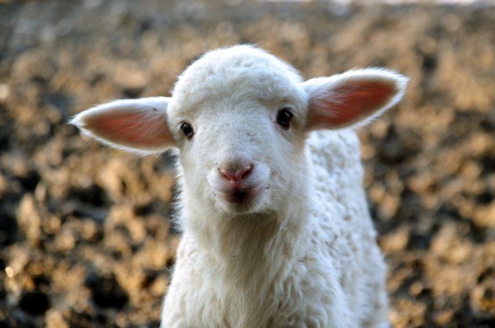 Jesus, the TRUE Passover Lamb